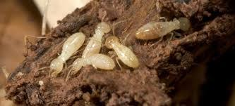 Termite Control  Termites are one of the most dangerous wood eating organisms. They dwell beneath a layer of thin brown mud tubs like material which makes tracking them difficult. Termites may excavate the wood so that only a very thin layer of wood is left on the surface between their cavities and the outside.  ACME Pest Control Chennai ,  with its wide experience in the field, provides comprehensive termite control solutions that are long-lasting and cost-effective. The types of termite control treatment in Chennai measures ACME Pest Control Services Chennai incorporates include - direct liquid treatments and liquid treatments applied at various vulnerable locations of the property. The team of experts at ACME Pest Control Chennai , Adyar undertakes a thorough inspection of the client's property to find out the intensity of the damage and suggest solutions accordingly.  Termite Pest Control Service Offered  Residential  Post-Construction- Termite Control Treatment in Chennai  Homes: 1 year contract with initial treatment and regular check-up; attending callbacks if any during the course of the contract period 2 year contract also available at an attractive price – please call for details If entire building is treated, a 5 Year Service Warranty* is provided  Pre-Construction- Termite Control   5 Year Service Warranty from the date of commencement of treatment Pre-Construction carried out at during construction stages as per  IS6313 specifications  Now Up to 20 % Discount for All Pest Control Services www.pestcontrolchennai.com