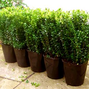ANARMI HEDGE PLANT s