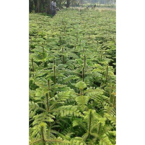 AROCARIA PLANT 150 s