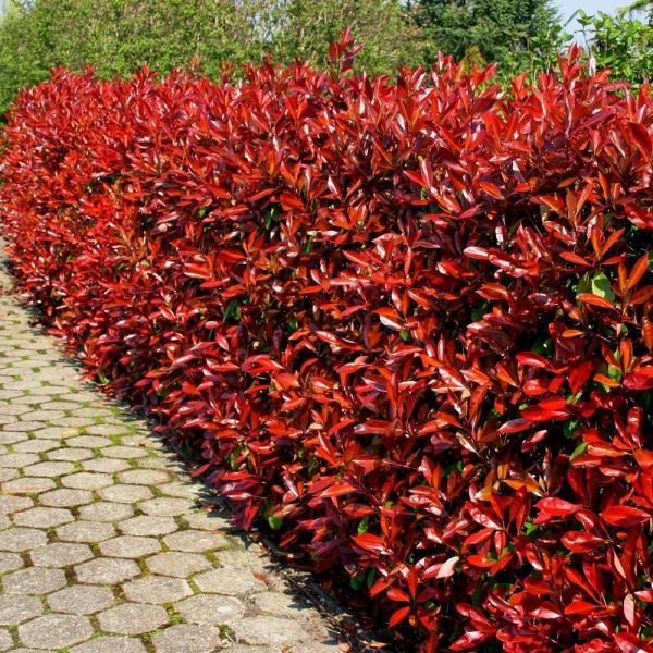 DURANTA RED supplier
