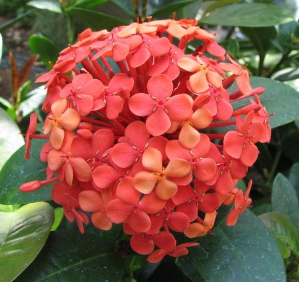 EXORA SMALL PLANT su