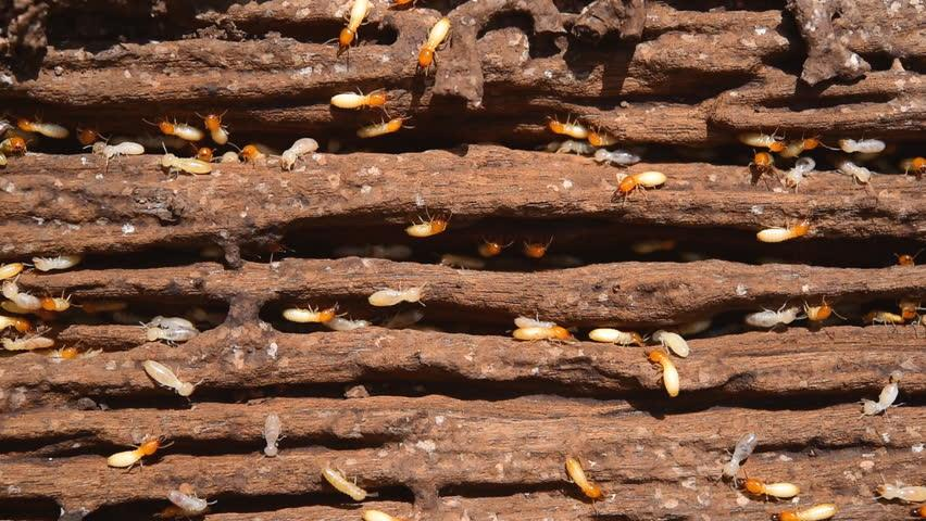 ACME Pest Control Chennai , with its wide experience in the field, provides comprehensive termite control solutions that are long-lasting and cost-effective. The types of termite control treatment in Chennai measures ACME Pest Control Services Chennai incorporates include - direct liquid treatments and liquid treatments applied at various vulnerable locations of the property. The team of experts at ACME Pest Control Chennai , Adyar undertakes a thorough inspection of the client's property to find out the intensity of the damage and suggest solutions accordingly.