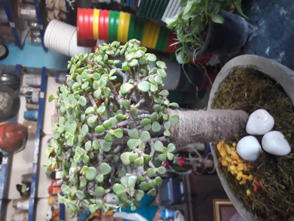 Bonsai Plants Suppli