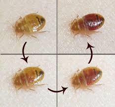 Pest Control Services in Chennai -Bed Bugs are small, oval, brownish insects that live on the blood of animals or humans. Adult bedbugs have flat bodies about the size of an apple seed. After feeding, however, their bodies swell and are a reddish color.     Pest Control Chennai -Bedbugs do not fly, but they can move quickly over floors, walls, and ceilings. Female bedbugs may lay hundreds of eggs, each of which is about the size of a speck of dust, over a lifetime.   Immature bedbugs, called nymphs, shed their skins five times before reaching maturity and require a meal of blood before each shedding. Under favorable conditions the bugs can develop fully in as little as a month and produce three or more generations per year.  Now Up to 25 % Discount for Bed Bugs Control
