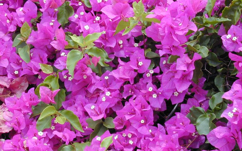 Bougainvillea formosa plant supplier in hosur  It is an evergreen, climbing shrub with thorny stems. It usually grows 10–12 ft (3.0–3.7 m) tall, occasionally up to 30 ft (9 m). Tiny white flowers usually appear in clusters surrounded by colorful papery bracts, hence the name paperflower. The leaves are dark green, variable in shape, up to 4 in (10 cm) long.